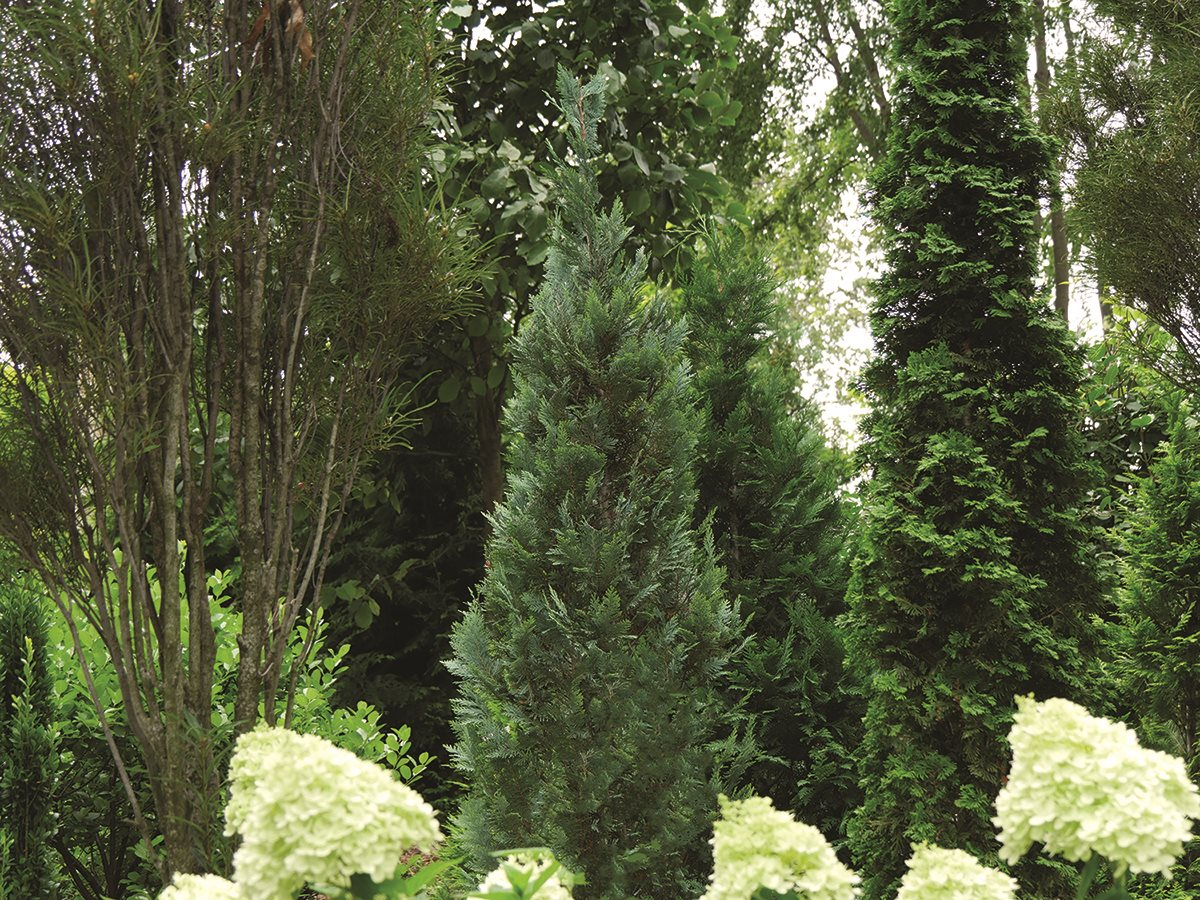 /Images/johnsonnursery/product-images/pinpoint_blue_evergreen_landscape_website_7bx5zka1z.jpg