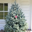 /Images/johnsonnursery/product-images/Big Blue Spruce_q81l1hjsm.jpg
