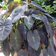 /Images/johnsonnursery/product-images/Colocasia Black Beauty_xzonjmqek.jpg