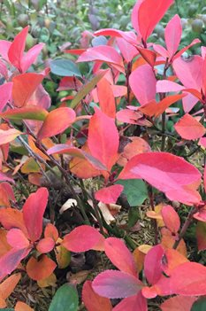 /Images/johnsonnursery/product-images/Aronia Low Scape Mound 3_dbguikikc.jpg