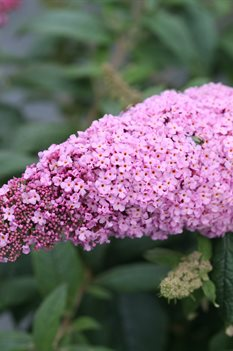 /Images/johnsonnursery/product-images/Buddleia Pugster Pink 4_mohu12z38.jpg