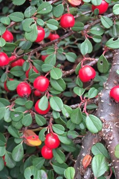 /Images/johnsonnursery/product-images/Cotoneaster Little Dipper 3_zttkbu9r0.jpg