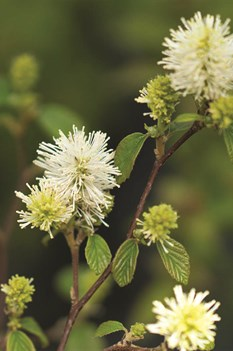 /Images/johnsonnursery/product-images/Fothergilla_Legend_of_the_Fall_2_1080_1080_60_qmrjizp3b.jpg