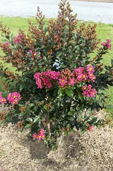 /Images/johnsonnursery/product-images/Lagerstroemia Plum Magic4080216_mj06g9wxx.jpg