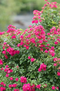 /Images/johnsonnursery/product-images/Rosa_Oso_Easy_Peasy_2_1080_1080_60_website_evttzb40s.jpg