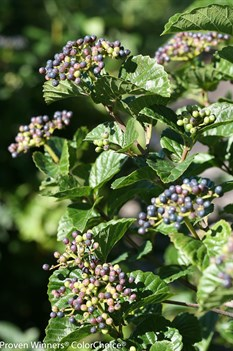 /Images/johnsonnursery/product-images/Viburnum All That Glitters_0bo54mr5t.jpg