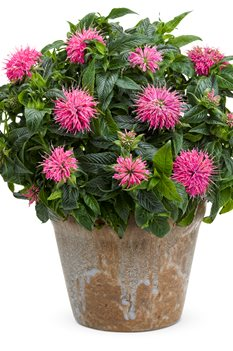 /Images/johnsonnursery/product-images/monarda_pardon_my_pink_02_kocsxmpfs.jpg