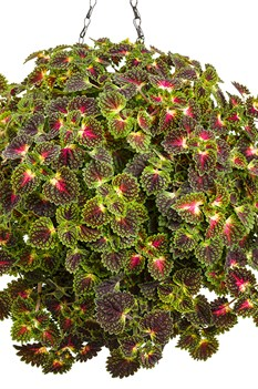 /Images/johnsonnursery/product-images/strawberry_drop_coleus_02_web_nfcxb2tde.jpg