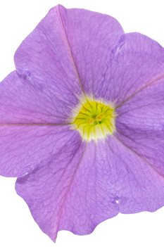 /Images/johnsonnursery/product-images/supertunia_blue_skies_01_lh014f5as.jpg