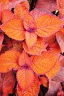 /Images/johnsonnursery/Products/Annuals/Coleus_Keystone_Kopper_6-13-12.jpg