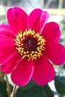 /Images/johnsonnursery/Products/Annuals/D__Roxy_for_web.jpg