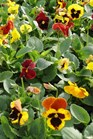 /Images/johnsonnursery/Products/Annuals/P__Delta_Blaze_Mix_6_inch_9-21-12_001_for_web.JPG