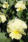 /Images/johnsonnursery/Products/Annuals/P__Delta_Primrose_10-6-11_013_for_web_2.JPG