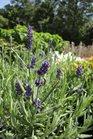 /Images/johnsonnursery/Products/Perennials/Lavendula_Sweet_Romance_1.jpg