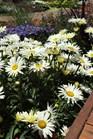 /Images/johnsonnursery/Products/Perennials/Leucanthemum_Banana_Cream_for_web.jpg