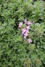 /Images/johnsonnursery/Products/Perennials/Thymus_Pink_Chintz_041513_for_web.jpg