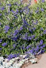 /Images/johnsonnursery/Products/Woodies/Caryopteris_Sapphire_Surf_-_1st_Editions.jpg