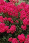 /Images/johnsonnursery/Products/Woodies/LGRSDZ_-_gardenersconfidence.jpg