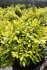 /Images/johnsonnursery/Products/Woodies/M__Soleil_3g_for_web_6-7-12_052.JPG