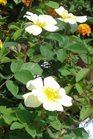 /Images/johnsonnursery/Products/Woodies/R__Sunny_Knock_Out_8inch_for_web_6-3-11_001.JPG