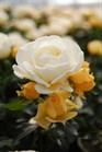 /Images/johnsonnursery/Products/Woodies/Rosa_Popcorn_Drift_-_Conard_Pyle.jpg