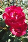 /Images/johnsonnursery/Products/Woodies/Rosa_Sunrosa_Red_2.jpg