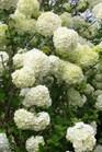 /Images/johnsonnursery/Products/Woodies/Viburnum_macro__Sterile_040501_for_web.jpg