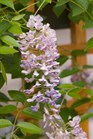 /Images/johnsonnursery/Products/Woodies/Wisteria_Summer_Cascade_-_1st_Editions.jpg