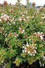 /Images/johnsonnursery/product-images/Abelia Rose Creek0800613_qeud0nbi2.jpg