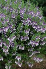 /Images/johnsonnursery/product-images/Angelonia Angelface Wedgewood Blue MI13_5xtt5wt0m.jpg