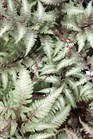 /Images/johnsonnursery/product-images/Athyrium_niponicum Pictum2030101_eusg6tc2m.jpg