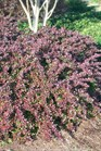 /Images/johnsonnursery/product-images/Berberis Crimson Pygmy042301_latneu9h3.jpg