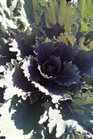 /Images/johnsonnursery/product-images/Brassica Coral Queen092713_6itszlo80.jpg
