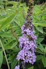/Images/johnsonnursery/product-images/Buddleia Flutterby Peace062413_3uc0ggchx.jpg
