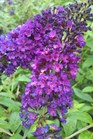 /Images/johnsonnursery/product-images/Buddleia Guinevere092111_ttx8a6nh2.jpg