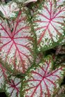 /Images/johnsonnursery/product-images/Caladium Artful Fire and Ice060216_p339i9o0f.jpg