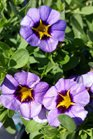 /Images/johnsonnursery/product-images/Calibrachoa Superbells Evening Star3041117_x7enhjis6.jpg