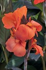 /Images/johnsonnursery/product-images/Canna Cannova Bronze Orange_rvdukwt94.jpg