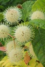 /Images/johnsonnursery/product-images/Cephalanthus Sugar Shack 3_ejtdxfwbt.jpg