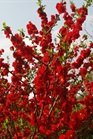 /Images/johnsonnursery/product-images/Chaenomeles Double Take Scarlet Storm_q3fa6kva2.jpg