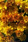 /Images/johnsonnursery/product-images/Chrysanthemum Mika Orange091311_p8i8ucx1q.jpg