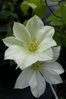 /Images/johnsonnursery/product-images/Clematis Guernsey Cream071116_zehq1abbt.jpg
