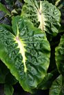 /Images/johnsonnursery/product-images/Colocasia White Lava041416_bmfpks8r8.jpg