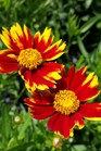 /Images/johnsonnursery/product-images/Coreopsis Lil Bang Daybreak3051016_0nlnzis85.jpg