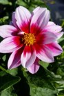 /Images/johnsonnursery/product-images/Dahlia Dalaya Yogi050417_dxkx5bp0k.jpg