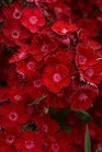 /Images/johnsonnursery/product-images/Dianthus Rockin' Red_nbdno6xje.jpg