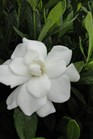 /Images/johnsonnursery/product-images/Gardenia Double Mint2083013_2hxrtlo05.jpg