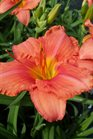 /Images/johnsonnursery/product-images/Hemerocallis South Seas060216_1wn15nnhw.jpg