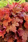 /Images/johnsonnursery/product-images/Heucherella Sweet Tea_jsxw2ue02.jpg