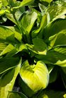 /Images/johnsonnursery/product-images/Hosta Rainforest Sunrise3051517_ek948gid3.jpg
